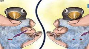 تست لگن برای تعیین جنسیت طوطی برزیلی