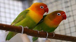 تعیین جنسیت طوطی برزیلی چگونه انجام می شود؟ ۴ روش برای تشخیص جنسیت طوطی برزیلی