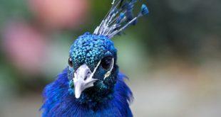 کسب درآمد عالی از طریق پرورش طاووس