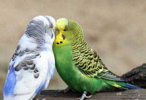 آمادگی جفت گیری مرغ عشق