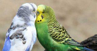 خرید مرغ عشق