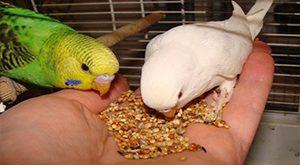 غذای مرغ عشق و برنامه غذایی مناسب برای پرورش مرغ عشق + فیلم