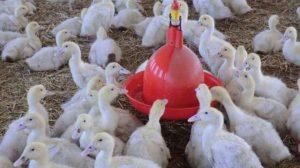 شروع پرورش اردک