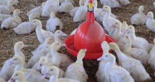 پرورش اردک را از کجا و با چه سرمایه ای شروع کنیم؟