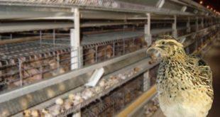 پرورش بلدرچین مقدمه ای برایتاسیس صنعت بزرگ پرندگان