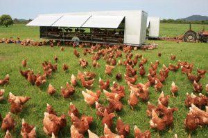 پرورش مرغ بومی و تخم گذار