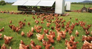 پرورش مرغ بومی با سرمایه ای کم و سود بسیار فراوان