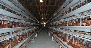 شروع کسب و کار پرورش مرغ گوشتی در مزرعه کوچک خودتان