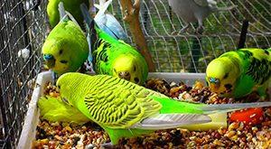 بیشتر بخوانید » چرا در تکثیر و تولید مثل پرندگان موفق نمی شوید؟