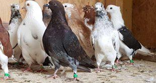 پرورش کبوتر و روش های نگهداری کبوتر