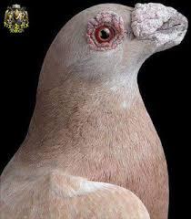 مریضی هرپس کبوتر