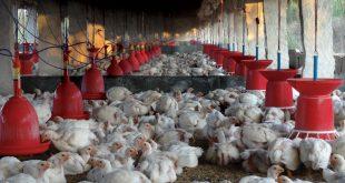 امکانات اولیه برای پرورش مرغ گوشتی و سود پرورش مرغ گوشتی