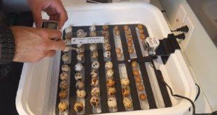 مراحل صحیح پرورش بلدرچین با استفاده از دستگاه جوجه کشی