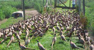 قرقاول پرنده ای خاص برای کسب درآمد فوق العاده