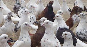 خرید کبوتر ! چند نکته ی مهم که در هنگام خرید کبوتر باید مد نظر داشته باشید