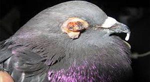 بیماری های کبوتر _ معرفی و راه های درمان بیماری های کبوتران _قسمت اول